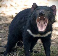 Scientists Discover Origins of Facial Cancer in Tasmanian Devils