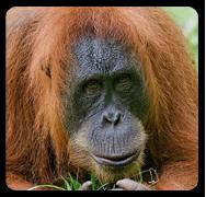 Orangutan Genome 'Evolved Slowly'